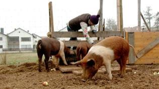 Elke füttert die Schweine.