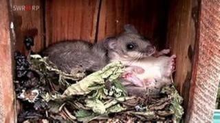 Siebenschläfer im Holzkasten (Foto: SWR, SWR -)