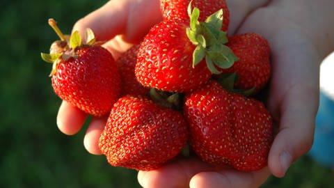 Erdbeeren, die von zwei Händen gezeigt werden (Foto: Colourbox)
