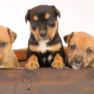 Drei Hundewelpen schauen aus einer Kiste heraus (Foto: Getty Images, Thinkstock -)