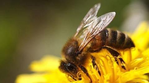 Eine Biene sitzt auf einer gelben Blume (Foto: SWR, Foto: Colourbox.de - FomaA)