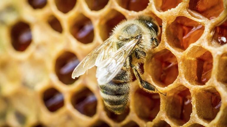 Eine Biene sitzt auf einer Bienenwabe (Foto: Getty Images, Thinkstock -)