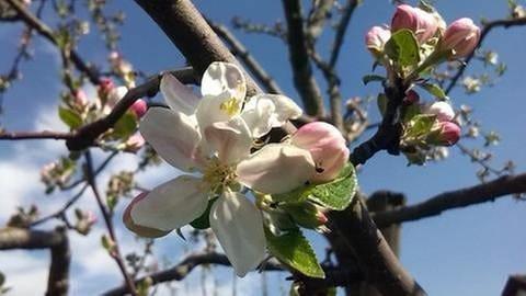 Apfelbaum mit Blüten (Foto: SWR, SWR -)