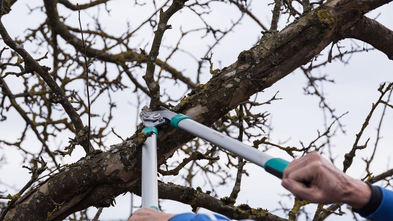 Obstbaumschnitt mit Schere (Foto: Colourbox)