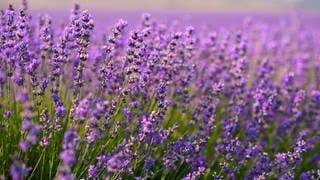 Lavendel (Foto: Colourbox)