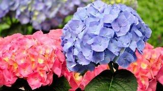 Hortensien im Garten (Foto: Colourbox)