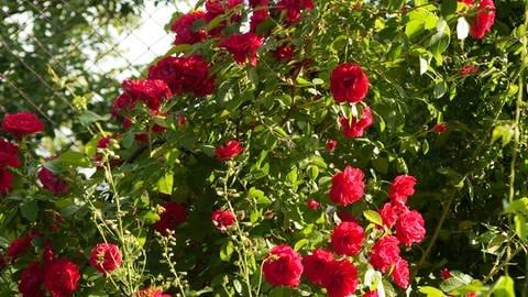 Rote Rosen im Garten (Foto: Colourbox)