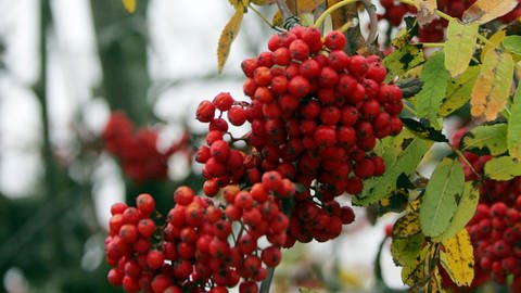 Eberesche (Sorbus aucuparia) (Foto: dpa Bildfunk, Picture Alliance)