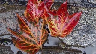 Verfärbte Laubblätter liegen auf feuchten Pflastersteinen  (Foto: Imago, imago/Markus Tischler)