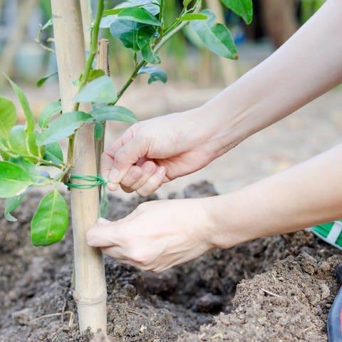 Eine Frau pflanzt einen Baum (Foto: dpa Bildfunk, tiverylucky)
