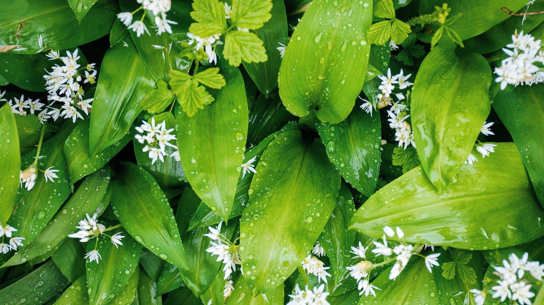 Bärlauch mit Blüten (Foto: Colourbox)