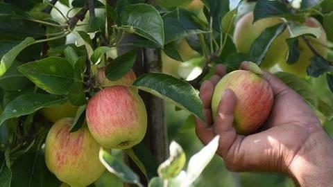 Hand pflückt Apfel aus einem Baum (Foto: picture-alliance / dpa, picture-alliance / dpa -)