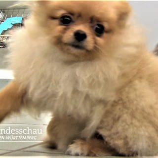 Chihuahua Hundewelpen (Foto: SWR)