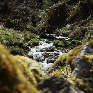 Wald (Foto: SWR)