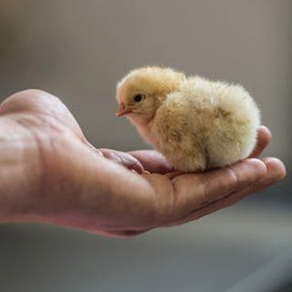 Ein männliches Hühnerküken sitzt auf der Hand eines Mannes. (Foto: picture-alliance / dpa, picture-alliance / dpa -)