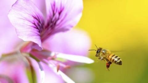 Honigbiene fliegt auf eine Blume zu (Foto: Getty Images, Thinkstock -)
