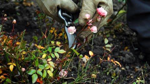 Rückschnitt von Rosen (Foto: SWR, Dorothée Panse)