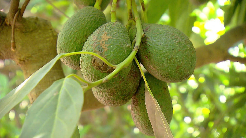 Avocado - Fruchtstand an Baum mit mehreren Avocados (Foto: SWR)