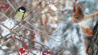 Blaumeise und Eichhörnchen im verschneiten Winter-Geäst (Foto: SWR)