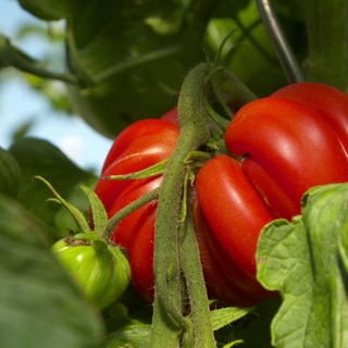 Reife Ochsenherztomate am Tomatenstrauch (Foto: SWR)