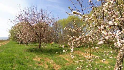 Streuobstwiese mit blühenden Obstbäumen (Foto: SWR)