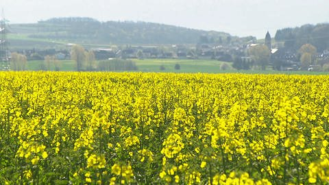 Blühendes Rapsfeld (Foto: SWR)