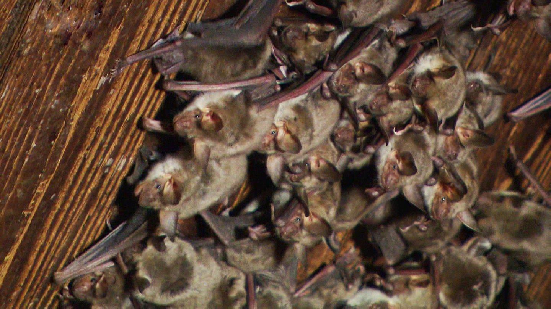 Fledermäuse hängen von einer Holzdecke (Foto: SWR)