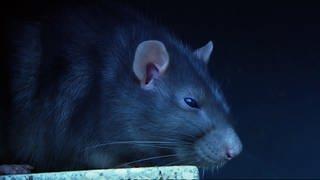 Ratte in Großaufnahme (Foto: SWR)