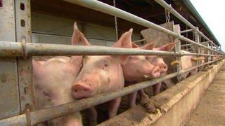 Schweine hinter Gittern im Stall (Foto: SWR)