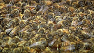 Bienen (Foto: SWR)