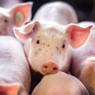 Schweine im Stall (Foto: dpa Bildfunk, Picture Alliance)
