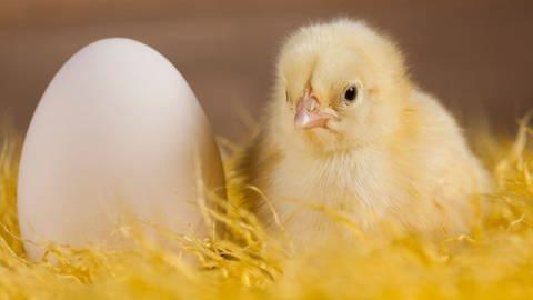 Ein Hühnerei und ein Küken (Foto: Colourbox)