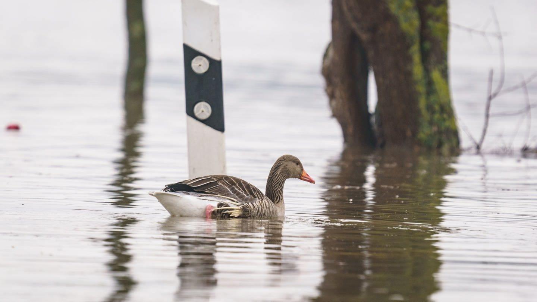 Eine Graugans schwimmt am Rand der gesperrten Bundesstraße B42 im Hochwasser an einer Straßenmarkeriung entlang, nachdem der Rhein über die Ufer getreten war.