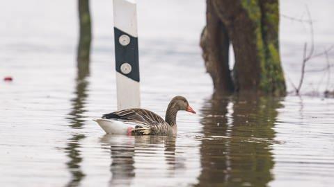 Eine Graugans schwimmt am Rand der gesperrten Bundesstraße B42 im Hochwasser an einer Straßenmarkeriung entlang, nachdem der Rhein über die Ufer getreten war. (Foto: dpa Bildfunk, picture alliance/dpa   Frank Rumpenhorst)
