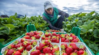 Ein Erntehelfer pflückt auf einem Feld Erdbeeren. (Foto: dpa Bildfunk, picture alliance/dpa/dpa-Zentralbild | Jens Büttner)