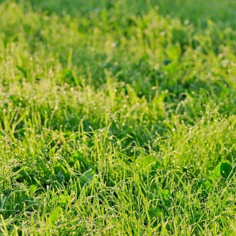 Nahaufnahme von einem gepflegten Rasen. (Foto: Colourbox)