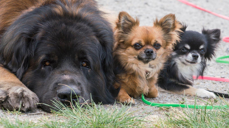 Drei Hunde liegen nebeneinander.