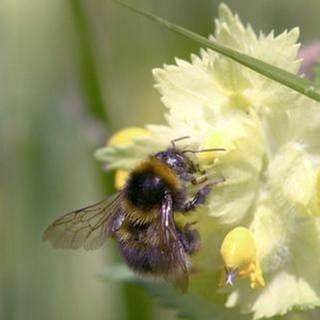 Eine Biener an einer blume auf der Wiese (Foto: SWR, SWR -)