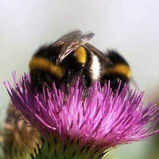Zwei Hummeln auf einer Blüte (Foto: SWR, SWR -)