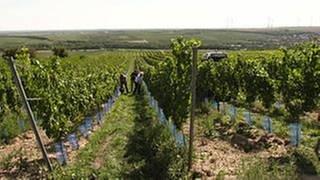Weinbau und Klimawandel (Foto: SWR, SWR -)