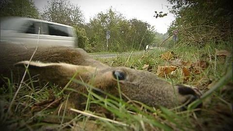 Wildunfälle - Der Tod auf der Straße (Foto: SWR, SWR -)