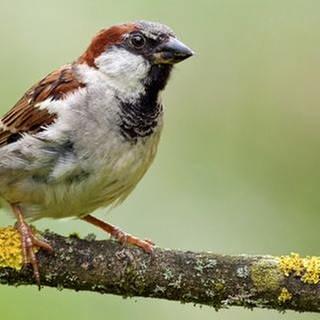 Ein Spatz sitzt auf einem Ast (Foto: Getty Images, Thinkstock -)