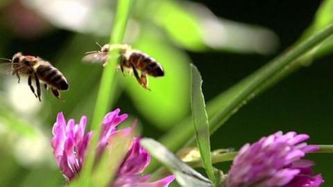 Bienensterben (Foto: SWR, SWR -)