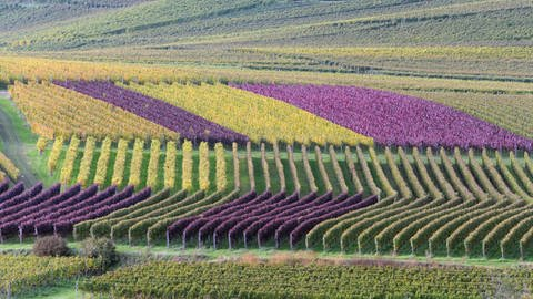 Weinberge in Baden.  (Foto: dpa Bildfunk, Picture Alliance)